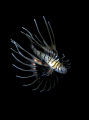   Baby lion fish  